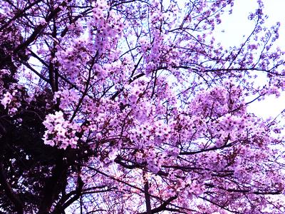 200327-sakura.jpg